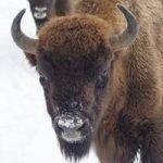 European Bison Reserve, Lozère