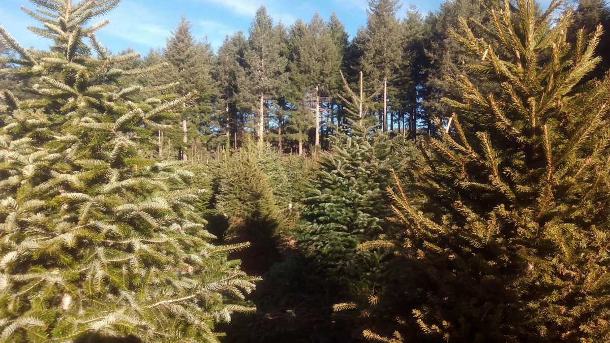 Christmas trees from Montseny delivered to your home